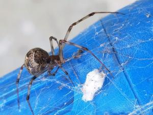 gray house spider with egg sac (2)